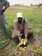 producteur variété pomme de terre afrique
