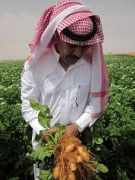 producteur pomme de terre moyen orient