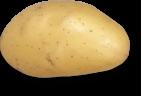plant de pomme de terre Charlène Triskalia