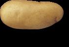 plant de pomme de terre Charlotte