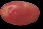 plant de pomme de terre desiree
