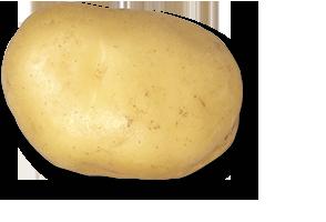 plant de pomme de terre mandola