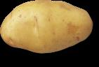 plant de pomme de terre nicola