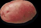 plant de pomme de terre Rubis variété exlusive Triskalia