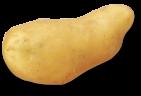 plant de pomme de terre stella