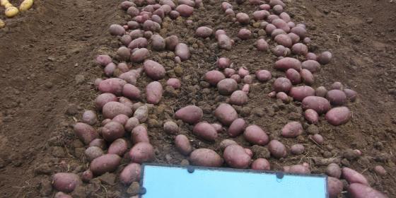 variété de pomme de terre frivol