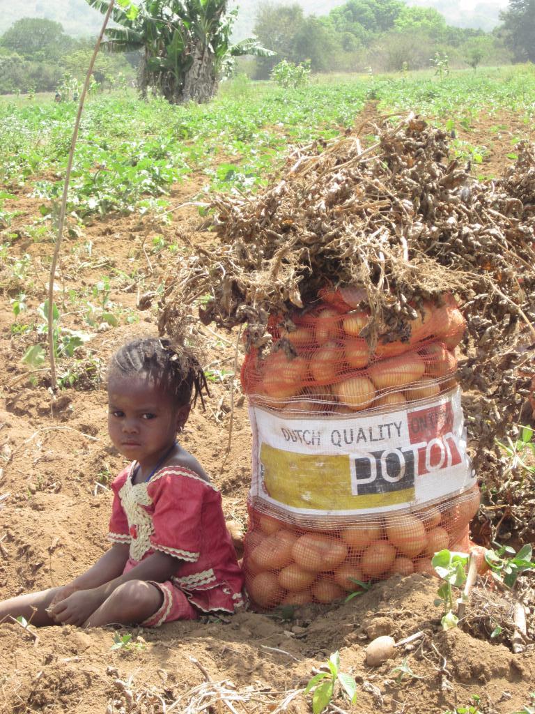 Mandola crop, in Soumbalako (Guinea), March 2014. Mandola produces manytubers, and a high yield.