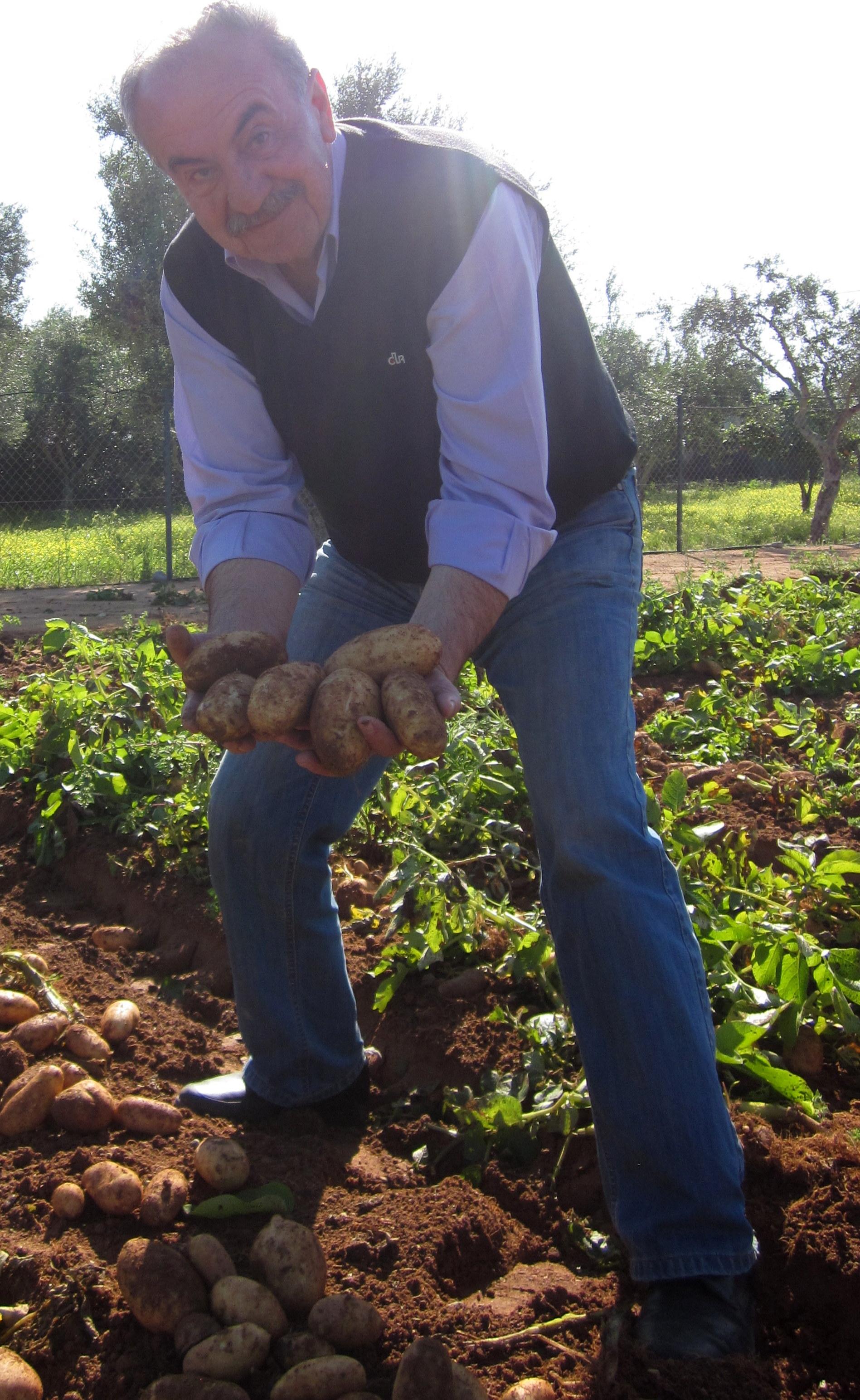 Speeda, first potato harvested in Kalamata in 2014