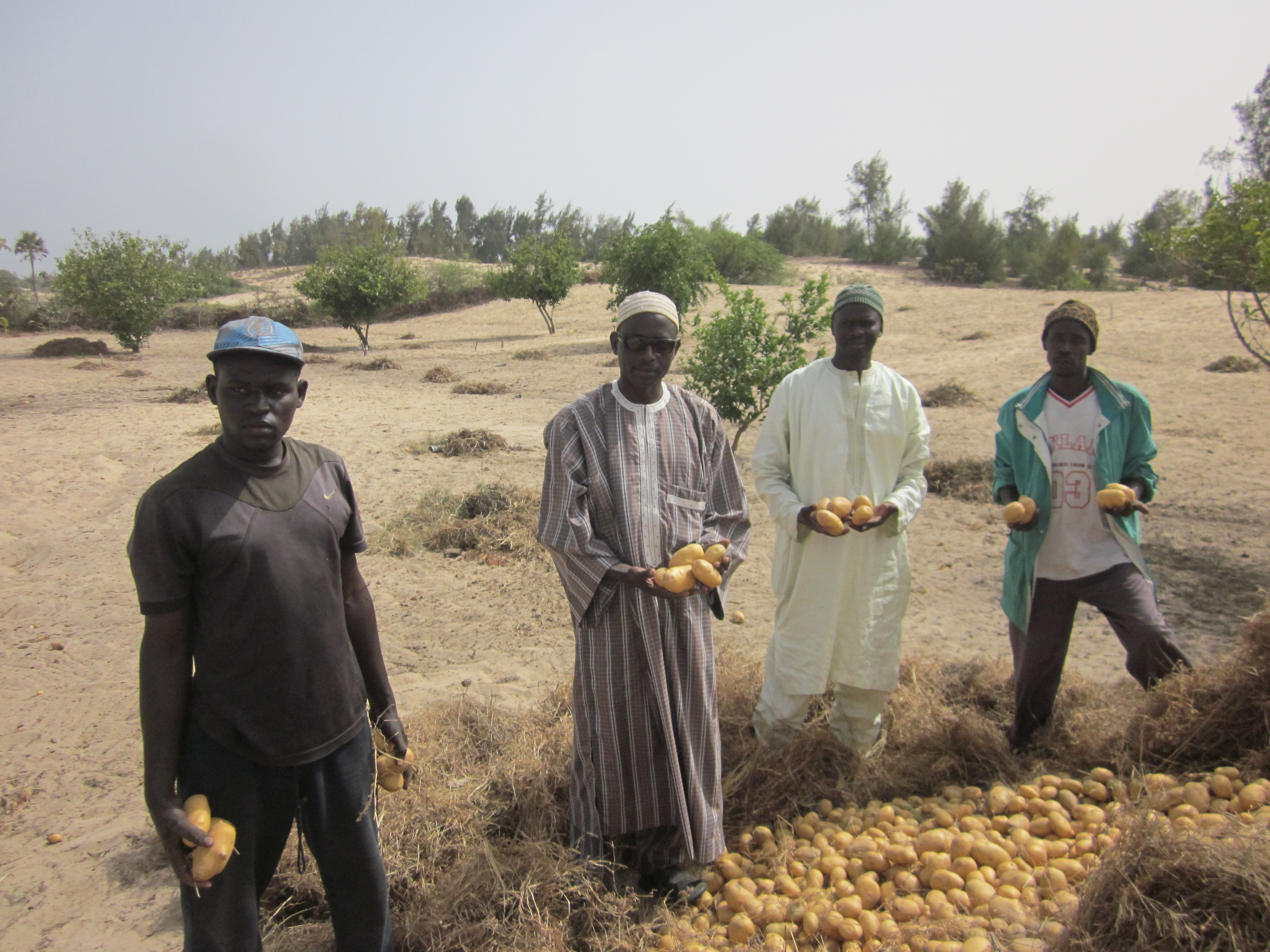 Mandola, variété exclusive Solawest, a séduit les producteurs Sénégalais, par sa productivité