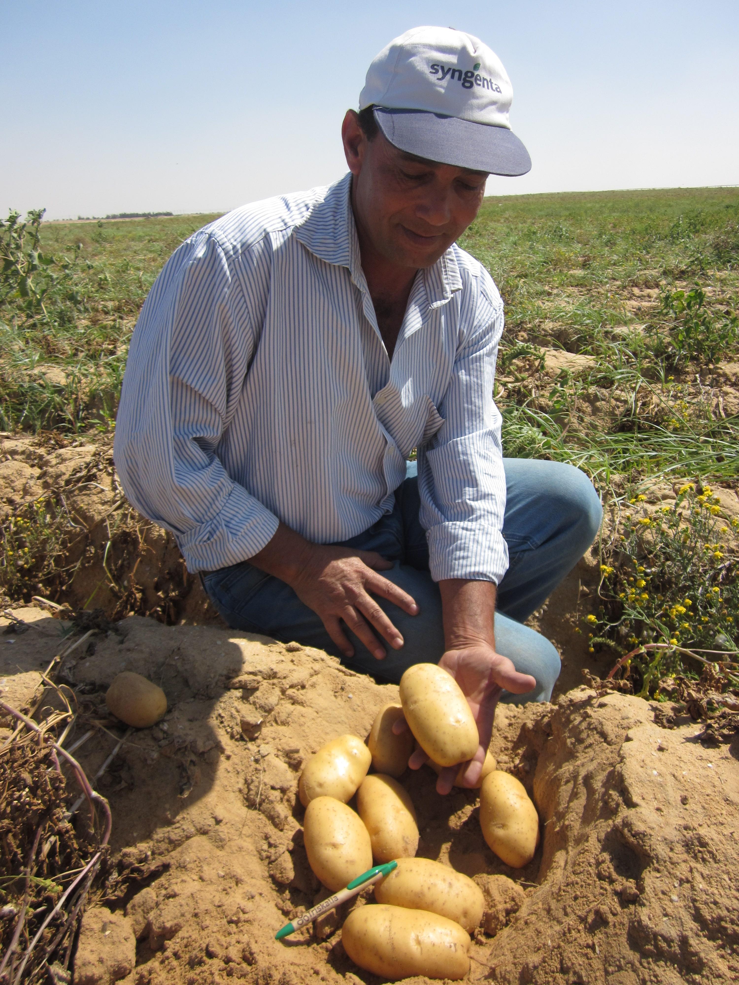 Oceania, dans la ferme d'Agrofood à Nubaria (Egypte), à maturité avant la récolte.